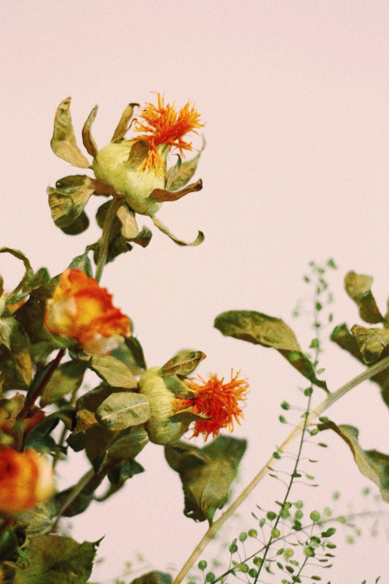 Fleur orange et verte à la lumiere naturelle
