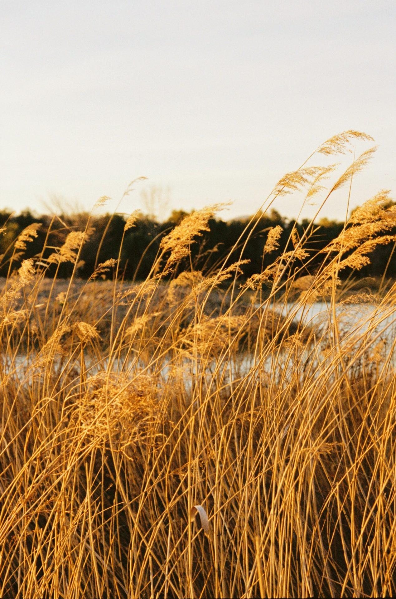 Champs de blé à la lumiere natuurelle